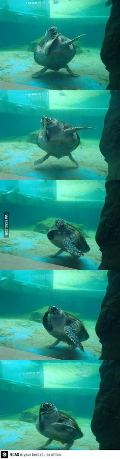 this sea turtle is a better dancer than me !