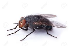 house fly anatomy - Google Search