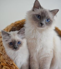 Mother Mazzy #minivaniljer #mazarin and her daughter #mormormagdas #minimazarinerna2017 #birma #birmancat #breeder #catsofinstagram #chokladochvanilj #kitten #pinkalicious #topcatphoto #happycatclub #welovecats #we_love_cats #excellent_cats #excellent_kittens #bestcats_oftheworld #birman_feature #birmanlovers #birmancats #birmavanner