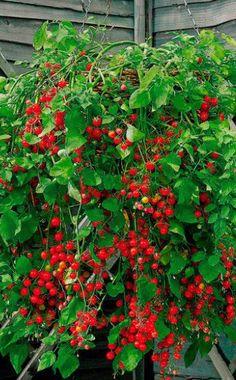 Tomate 'Micro Cherry': Den ganzen Sommer über bilden sich neue Rispen mit sehr…