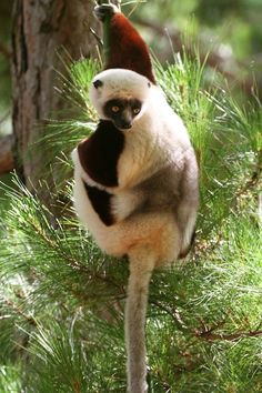Coquerel's Sifaka, an endangered species