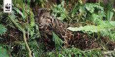 Nebelparder © Alain Compost / WWF Beautiful animal