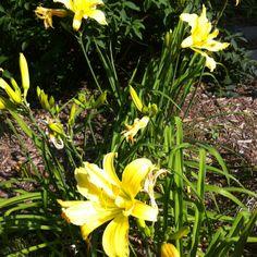 Yellow Daylily - late June 2012
