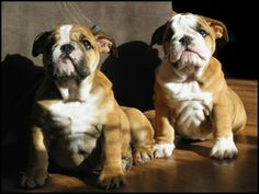 Such cute puppies! Bbad Bulldogs #Bulldogs #Cute #Dogs #Pets #Awesome