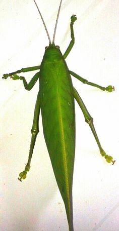 Grasshopper Gunung Leuser National Park, National Parks, Plant Leaves, Plants, Plant, Planets