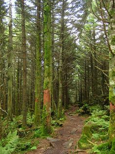 Mt. Rogers Spruce Fir Forest