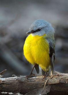Eastern yellow robin Australasian robin of coastal and sub-coastal eastern Australia).