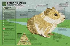 Guinea Pig Infographic structure