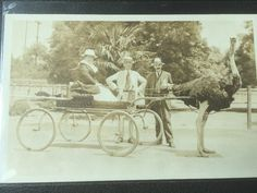 Ostrich Pulling A Cart Postcard Los Angeles
