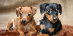 German Pinscher Breed Information, Characteristics, Puppy Names
