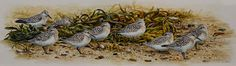 Sanderlings at rest Watercolour on board Wildlife Art, Watercolour, Rest, Paintings, Board, Plants, Pen And Wash, Watercolor Painting, Paint