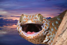 Raja Ampat has many colourful inhabitants on dry land, too, such as this tokay gecko in Misool / © Ullstein Bild / Getty Images