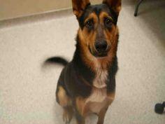 German Shepherd Dog dog for Adoption in Modesto, CA. ADN-747758 on PuppyFinder.com Gender: Male. Age: Adult