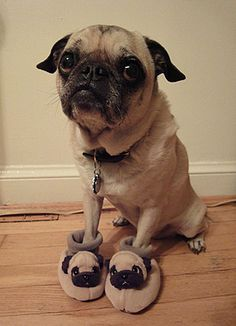 Yo dawg, I heard you like pugs. So I put some pugs on your pug. Dog Photos, Dog Pictures, Animal Pictures, Cute Pictures, Animals Photos, Wall Photos, Funny Photos, Funny Images, Beautiful Pictures