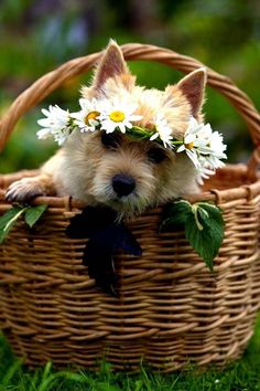 A Terrier in a basket with flowers in it's hair. Cute Puppies, Cute Dogs, Dogs And Puppies, Animals And Pets, Baby Animals, Cute Animals, Daisy Love, Cairn Terriers, Tier Fotos