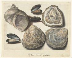 Oysters, Mosselen en Maanhoorn, anoniem, 1560 - 1585