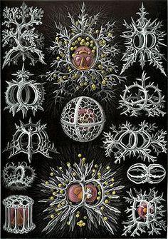 Haeckel Stephoidea.jpg