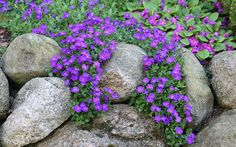 Aubrieta is a carpeting plant that produces masses of purple flowers in late spring. It has rough, hairy leaves and can be any tone from pale lilac to deep violet.