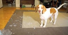 Maymo Gets The Happies From A Bag Of Ice | The Animal Rescue Site Blog