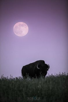 Bison under the moon by Bonny Fleming Beautiful Creatures, Animals Beautiful, Animal Reiki, Shoot The Moon, Moon Pictures, Beautiful Moon, Beautiful Images, Good Night Moon, Silhouette