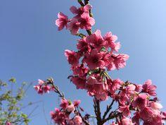 2月の桜 今帰仁城跡