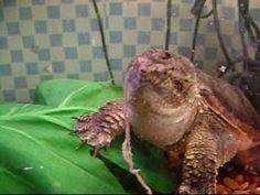Für die, die keinen schwachen Magen haben, ist das interessant. Schnappschildkröte bei der Fütterung. Unbedingt mal komplett ansehen.