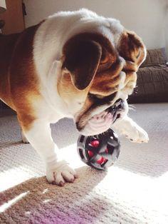 90 Best Bulldoggies Images Dogs Puppies Animals