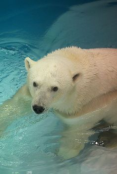 polar bear Ohoto