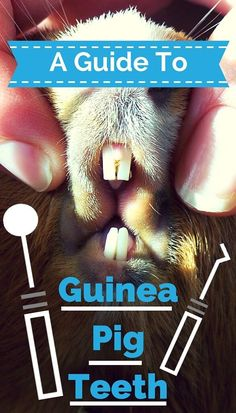 Learn more about your guinea pigs teeth here - including common problems to look out for, and how to solve them. Diy Guinea Pig Cage, Guinea Pig Hutch, Guinea Pig House, Baby Guinea Pigs, Guinea Pig Care, Pet Pigs, Diy Guinea Pig Toys, Guinea Pig Costumes, Guinie Pig