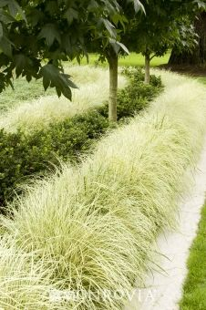 1000 ideas about perennial grasses on pinterest for Ornamental grass border plants