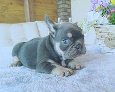 9 Fantastiche Immagini Su Bulldog Francese Blu Cute Dogs Dog Cat