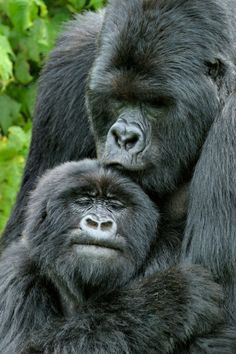 Love in the Animal Kingdom:  Mountain Gorillas (Gorilla beringei) in Rwanda, Africa - photo by Andy Rouse/Naturepl ... from PBS
