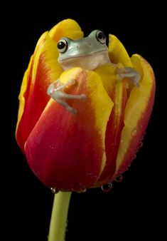 *~ Whites tree frog on tulip ~* by AngiWallace
