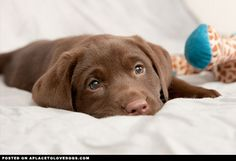 Chocolate Lab Puppy • APlaceToLoveDogs.com • dog dogs puppy puppies cute doggy doggies adorable funny fun silly photography