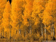 Aspen trees in Montana