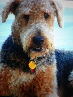 Airedale, Jake