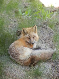 A Red Fox that hangs around Hands of Spirit's Crystalline Temple