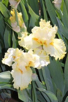 TB Iris germanica 'Lacy Lemon' (Fan, 2008)