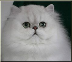 Chinchilla Persian Cat - I had one...he was a very clever Chin Chin...used to use the storm water drains to cross the road :)