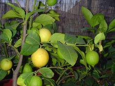 12 лучших сортов лимона для комнатного выращивания Small Farm, Fruit, Garden, Flowers, Plants, Karate, Sad, Garten, Lawn And Garden