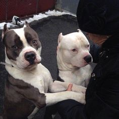 Pitbulls Why do they bob the ears so drastically? Amstaff Terrier, Pitbull Terrier, Pitbull Pups, Bull Terriers, Beautiful Dogs, Animals Beautiful, Cute Animals, Animals Dog, Wild Animals