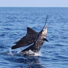 Fishing for sailfish in Quepos, Costa Rica  #deepseafishing #bluemarlin #costaricafishing