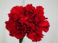 red carnation - Pesquisa Google