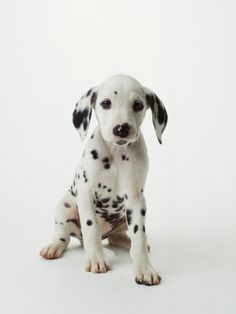 #Dalmatian #Dogs #Puppy
