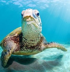 Green Sea Turtle in underwater in in pacific ocean in Makena, Maui, Hawaii Islands_ USA Turtle Beach, Turtle Love, Underwater Sea, Tortoise Turtle, Deep Blue Sea, Sea And Ocean, Pacific Ocean, Tortoises, Ocean Life