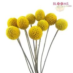Wholesale Craspedia Billy Balls - Billy Balls, Billy Buttons - Blooms by the Box - about ten stems per bunch - $15.59 per bunch... need 10 bunches - $150.59
