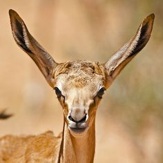 Young Springbok in the Kgalagadi Transfrontier Park, Kalahari Desert, South Africa: Photographed by Shane Saunders  (Cape Town, RSA)