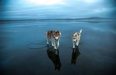A Pair of Siberian Huskies Majestically Wander Across a Frozen Lake in a Series of Gorgeously Ethereal Photos