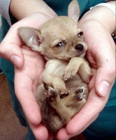 Effective Potty Training Chihuahua Consistency Is Key Ideas. Brilliant Potty Training Chihuahua Consistency Is Key Ideas. Tiny Puppies, Cute Puppies, Cute Dogs, Awesome Dogs, Baby Chihuahua, Baby Dogs, Cute Baby Animals, Animals And Pets, Funny Animals