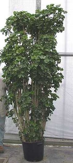 How To Grow Bonsai, Air Layering, Indoor Trees, Low Light Plants, Poisonous Plants, Peace Lily, Bonsai Plants, Large Plants, Water Lighting